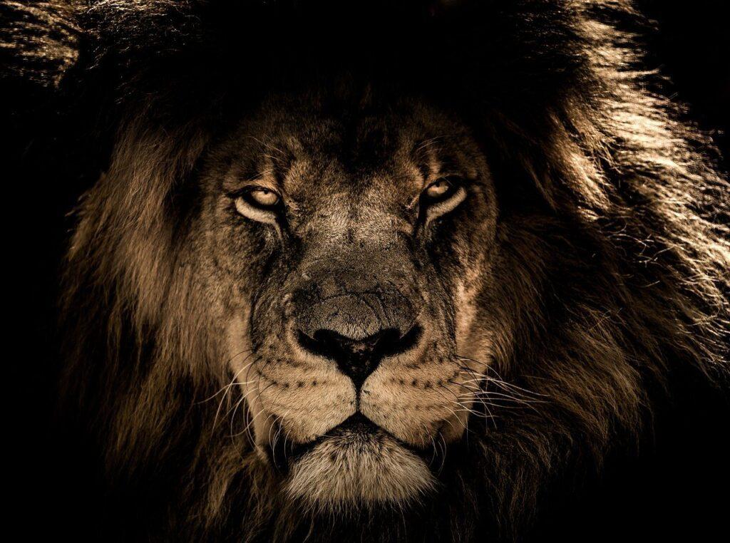african lion, wild cat, feline-2888519.jpg