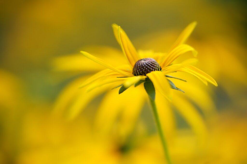 flower, coneflower, bloom-6607529.jpg