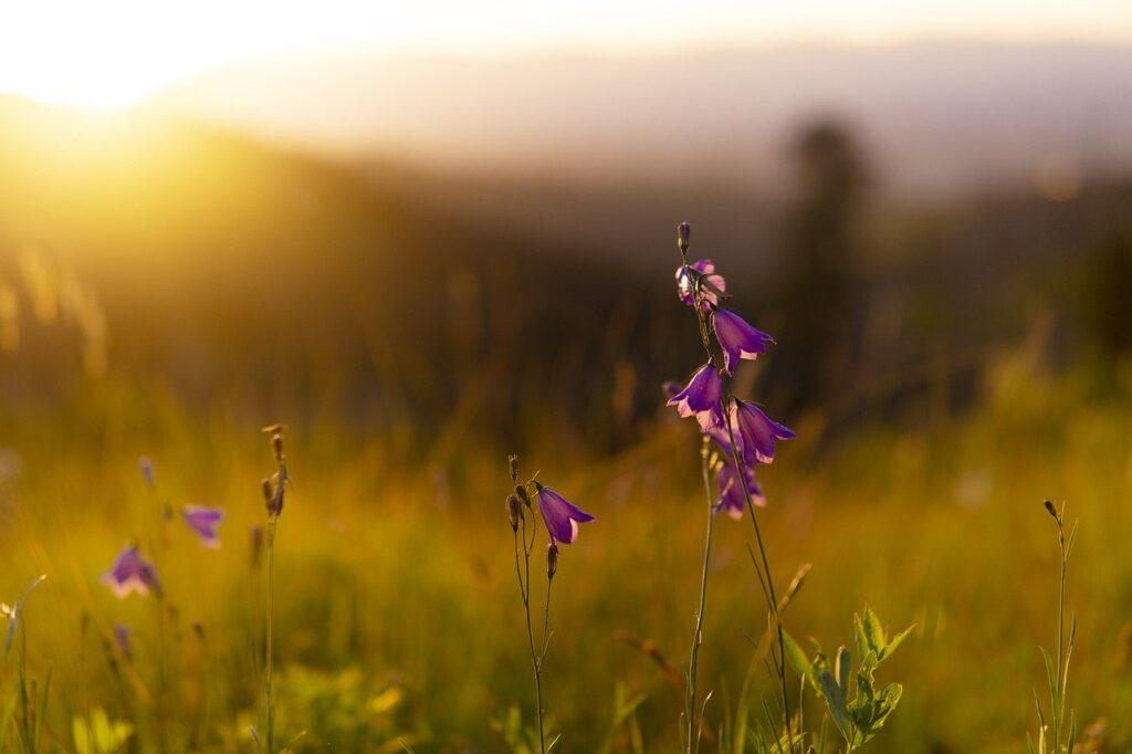 flowers, field, sunset-6574079.jpg