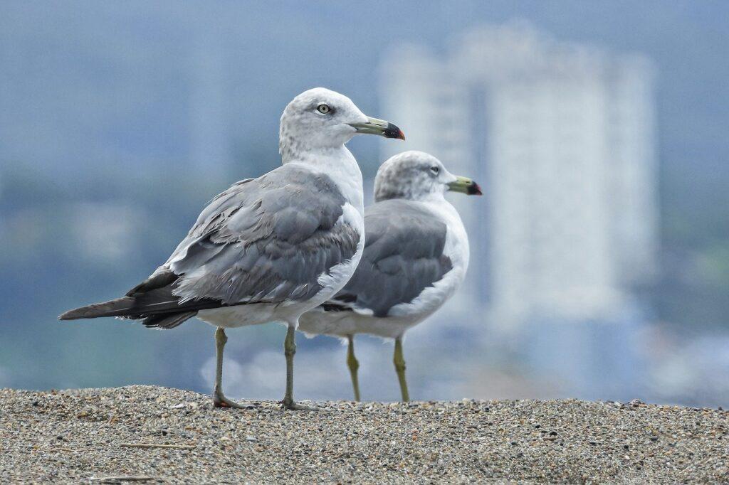 seagulls, birds, sea-6549872.jpg
